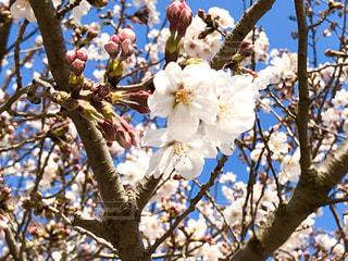 空,花,春,屋外,枝,青い空,樹木,快晴,草木,桜の花,さくら,ブルーム,ブロッサム