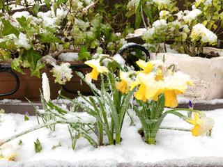 満開の水仙に積もる白雪の写真・画像素材[3060888]