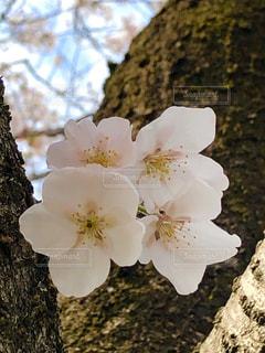 幹の木陰に咲く桜の写真・画像素材[3075992]