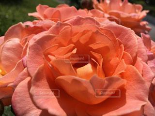 一際目立つコーラルピンクの薔薇の写真・画像素材[1796010]