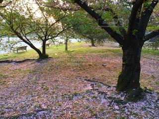 桜のじゅうたんの写真・画像素材[1840561]