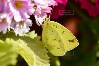花,春,黄色,蝶々,さくら草