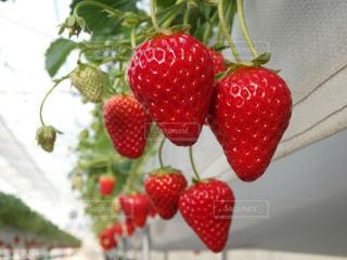 赤,いちご,苺,果物,くだもの,いちご狩り,静岡,イチゴ,イチゴ狩り