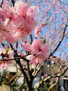 桜,屋外,樹木,お花見,草木