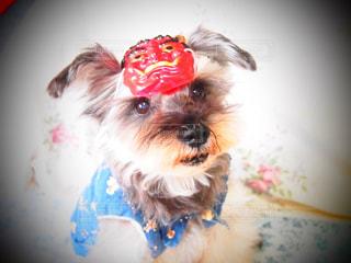 犬,かわいい,いぬ,癒し,dog,愛犬,ミニチュアシュナウザー,節分,豆まき,鬼のお面