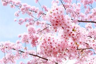 自然,風景,春,桜,お花,観光,旅行,名古屋,河津桜,愛知県,犬山