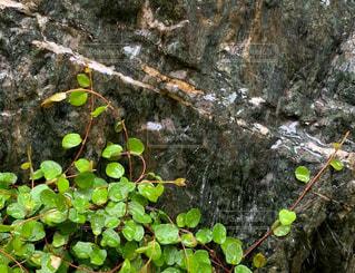 雨,庭,屋外,植物,岩,水しぶき,ワイヤープランツ,雨の日,雨だれ,庭石