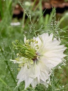 雨あがりの白い花の写真・画像素材[2171292]