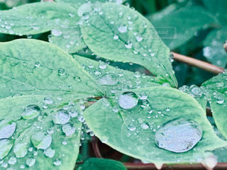 牡丹の葉、力持ちです。の写真・画像素材[2171310]