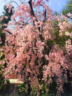 京都の枝垂れ桜の写真・画像素材[1804678]