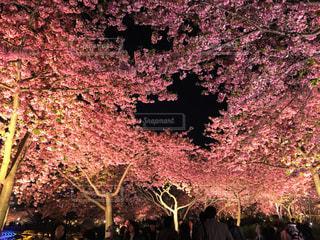 夜桜の写真・画像素材[1791710]