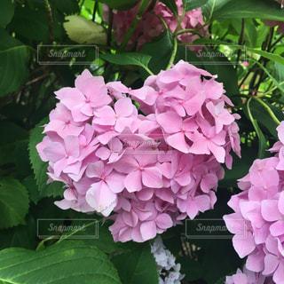 ハートの紫陽花の写真・画像素材[1803729]