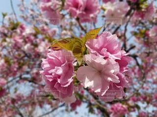 桜の写真・画像素材[1803732]