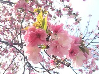 桜の写真・画像素材[1803734]