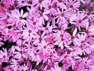 ピンクの花の写真・画像素材[1823854]