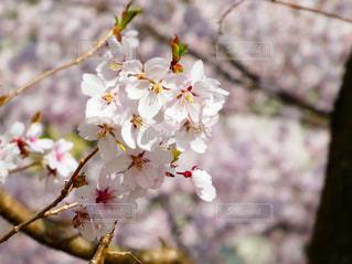 自然,花,春,桜,ピンク,花見,お花見,ライフスタイル,さくら