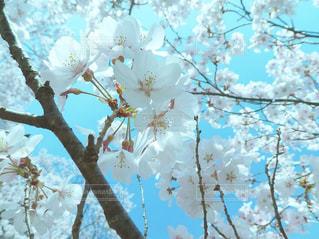 自然,花,春,桜,花見,お花見,ライフスタイル,さくら