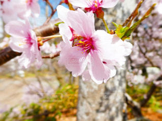 自然,風景,花,春,桜,屋外,花見,お花見,長野県,ライフスタイル,フォトジェニック,桜の花びら,インスタ映え,高遠公園