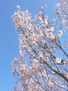 空,花,春,桜,木,庭,ピンク,お花見,ピクニック,草木,ガーデン,インスタ映え