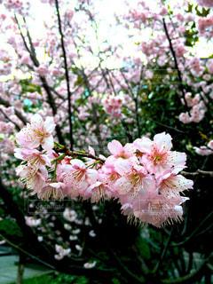 春,桜,屋外,ピンク,植物,晴れ,花見,ピクニック,中国,思い出,桃色,さくら,無錫,東和苑