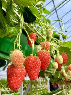 食べ物,植物,赤,いちご,苺,フルーツ,果物,いちご狩り,お出かけ,フレッシュ,イチゴ