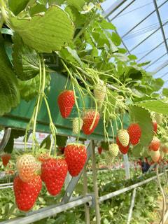 食べ物,植物,赤,いちご,苺,フルーツ,果物,いちご狩り,新鮮,草木,お出かけ,フレッシュ,イチゴ