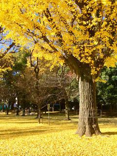 自然,秋,紅葉,屋外,黄色,葉,落ち葉,樹木,イチョウ,銀杏,イエロー,落葉,草木
