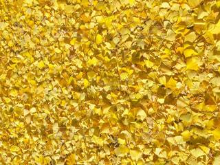 自然,秋,屋外,黄色,葉,落ち葉,イチョウ,銀杏,地面,イエロー,落葉,草木