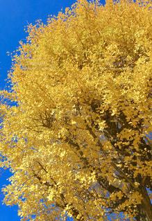 自然,風景,秋,屋外,葉,鮮やか,樹木,イチョウ,銀杏,イエロー,草木
