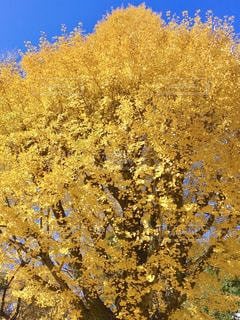 自然,秋,屋外,黄色,葉,鮮やか,樹木,イチョウ,銀杏,イエロー,草木