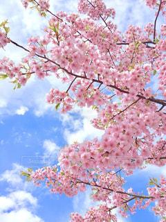 空,花,春,桜,ピンク,青空,樹木,草木,さくら,ブロッサム