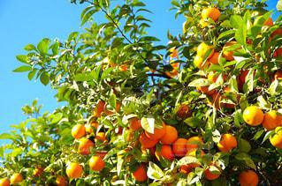 オレンジの束の写真・画像素材[1784915]