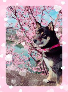 満開の桜🌸ワンコの写真・画像素材[1796039]