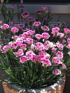ピンクの花満開の写真・画像素材[1798312]