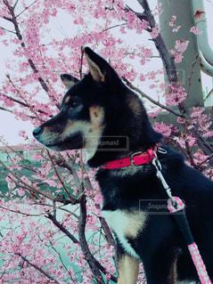 桜の花の写真・画像素材[1832694]