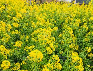 雨の日の、菜の花畑の写真・画像素材[1835263]