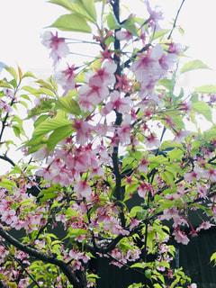 桜,ピンク,満開,樹木