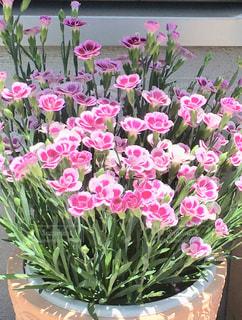 かわいい花、いっぱい咲いた🌸🌸🌸の写真・画像素材[1884954]