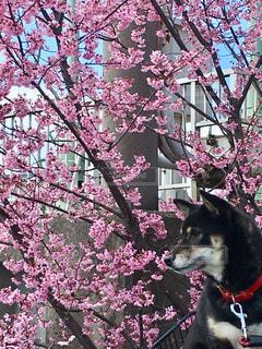 桜の花びら🌸散るのをみてるの写真・画像素材[2009939]