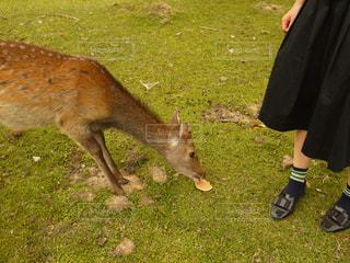 晴れた日に草を食べる鹿の写真・画像素材[1798902]