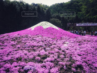 芝桜の富士山の写真・画像素材[1790899]