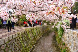 春の哲学の道の写真・画像素材[1793104]