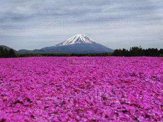芝桜と富士山の写真・画像素材[1817880]