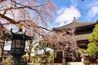 本覚寺のしだれ桜の写真・画像素材[1817891]