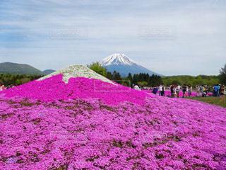 ピンクの富士山の写真・画像素材[1819126]