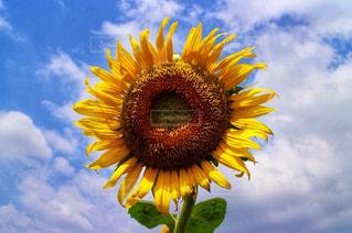 花,夏,ひまわり,黄色,季節
