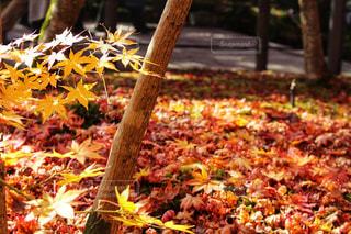 秋,紅葉,黄色,葉,観光,yellow
