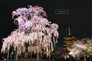 東寺のしだれ桜の写真・画像素材[1832008]
