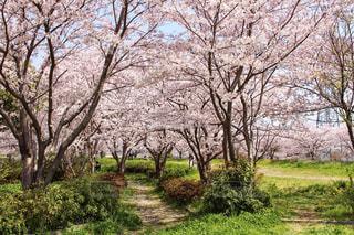 自然,風景,春,桜,季節,花見