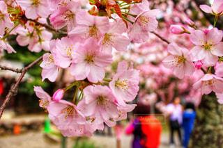 風景,春,桜,京都,季節,花見,観光,旅行